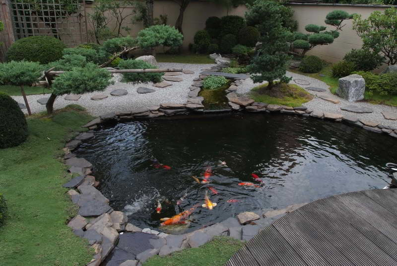 Koi fish pond tips sweeney feeders for Japanese koi pond garden design