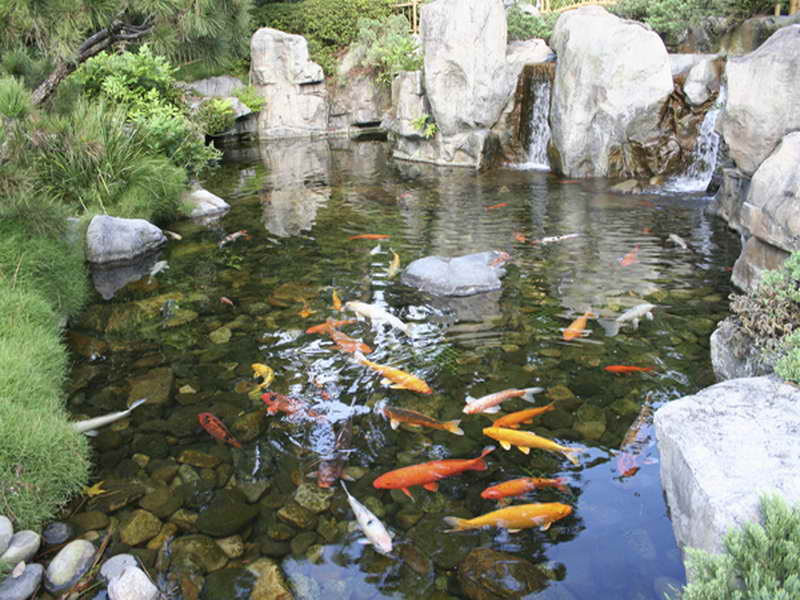 Backyard koi pond designs sweeney feeders for Large outdoor fish ponds