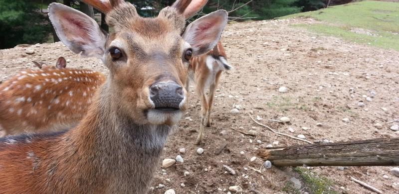 deer antlers 2