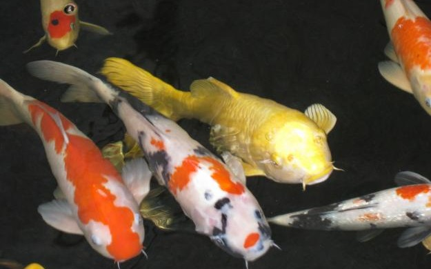 Choosing the right feed for your koi fish sweeney feeders for Koi fish feeder