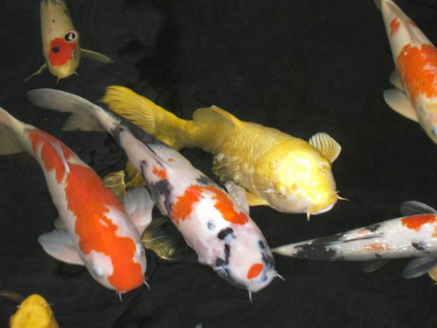 Choosing the right feed for your koi fish sweeney feeders for Koi fish in pool