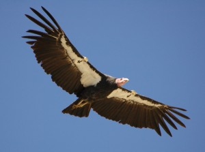 California Condor Photo courtesy of www.manataka.org