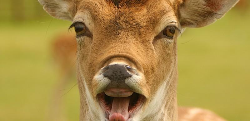 Funny Deer Face