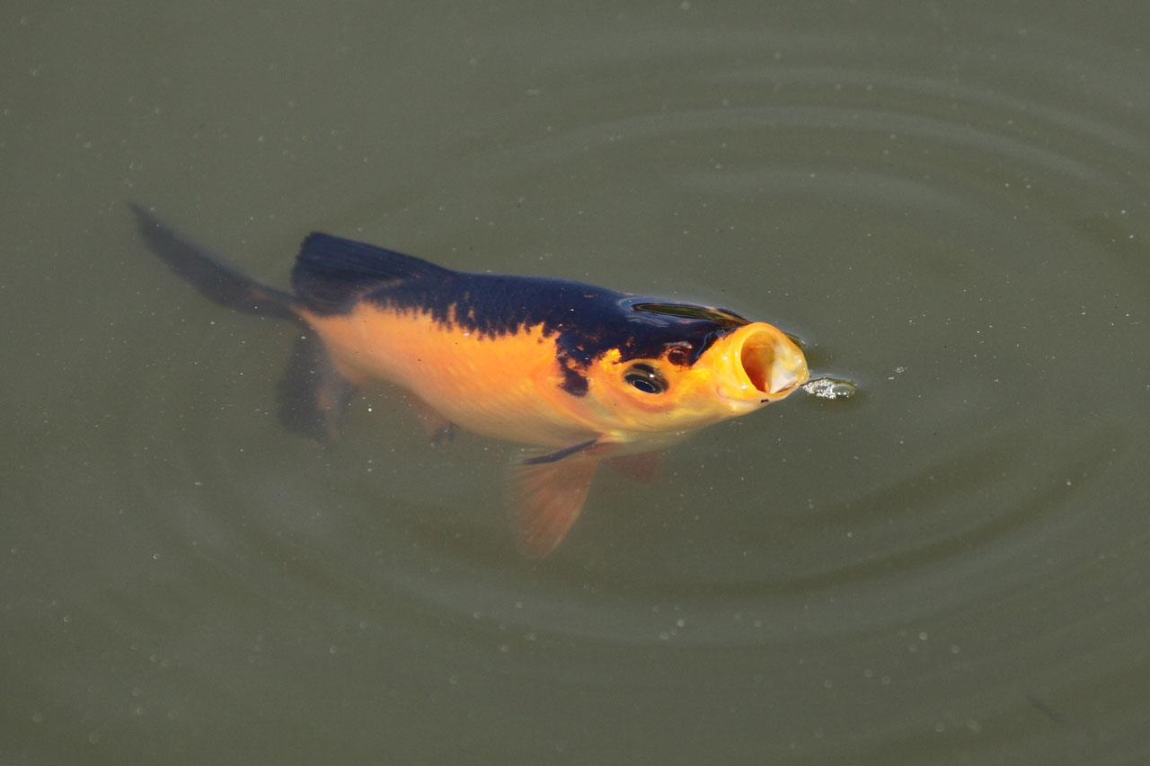 what-to-feed-pond-fish