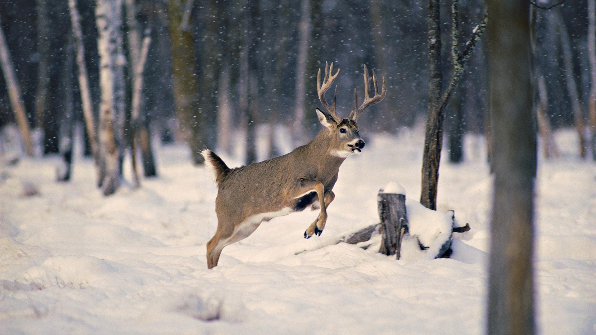 Inexpensive Way to Feed Deer – Feeding Deer Corn Year Round